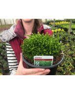 Hebe Emerald Green 3 Litre Pot