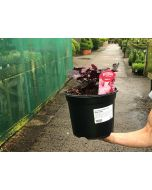 Heuchera Midnight Rose 3 Litre Pot