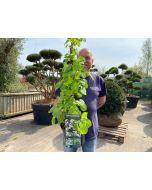 Hydrangea Petiolaris Cone 3 Litre Pot