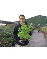 Hydrangea Paniculata Limelight 3 Litre Pot