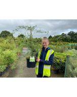 Acer palmatum Emerald Lace 7.5 Litre Pot
