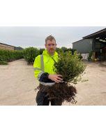 Ilex Crenata Green Hedge 20/30cm Bare Root November Delivery