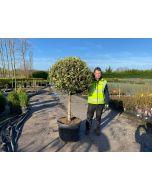 Ilex Aquifolium Argentea Marginata 70 Litre Pot 1/2 Std 70cm Stem