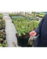 Salvia Ostfriesland 2 litre Pot