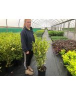 Griselinia Littoralis Bantry Bay Hedging 10 Litre