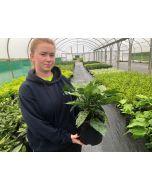 Aucuba Japonica Crotonifolia 5 Litre Pot