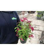 Spiraea japonica Anthony Waterer 2 Litre Pot