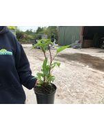 Echinacea Purpurea 2 Litre Pot
