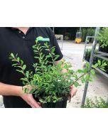 Spiraea japonica Snowmound 2 Litre Pot