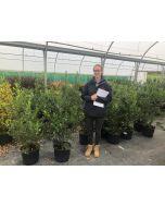 Ilex Aquifolium JC Van Toll Root Ball 60/80cm
