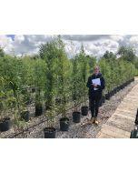 Black Bamboo Phyllostachys Nigra 12 Litre Pot 150/160cm