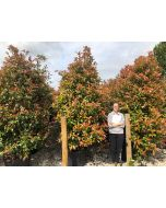 Photinia Red Robin 110 Litre Pot 250cm