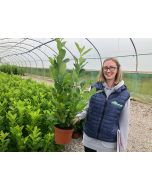 Laurel Hedging Rotundifolia 3 Litre Pot 30-40cm