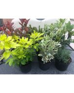 Hardy Evergreen Shrub Mix 2/3 Litre Pots 6 Plants + Free Food