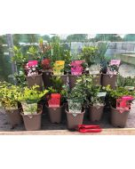 Hardy Shrub Mix 11 cm Pots