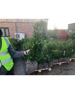 Box Holly Ilex Crenata Caroline Root Ball 60/80cm Digging Now