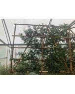 Prunus L. Brenelia Pleached Half Standard 50 Litre Pot