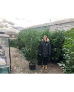 Laurel Hedging Caucasica 25 Litre Pot Grown 2 Metre
