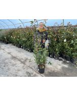 Photinia Red Robin 9 Litre Pot