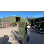 Black Bamboo 15 Litre Pot 160-180cm