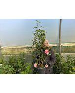 Camellia Japonica Kick Off 9  Litre Pot
