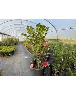 Camellia Japonica Black Lace 9 Litre Pot