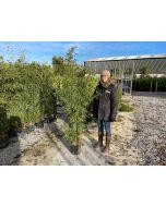 Bamboo Phyllostachys Aurea 9 Litre Pot 150cm