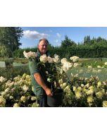 Hydrangea Paniculata Vanille Fraise 15 Litre Pot