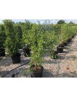 Salix Kilmarnock 3 litre Pot 60cm Stem