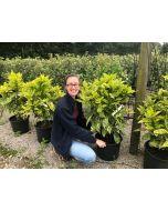Aucuba Japonica Crotonifolia 15 Litre Pot