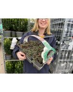 Cotoneaster Streib's Findling  6 Pack Tray