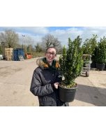 Euonymus Jap. Green Spire 7.5 Litre Pot Very Bushy