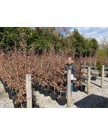 Purple Beech Root Balls  150/175cm Pre Order