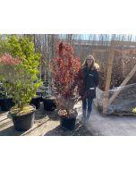 Acer Palmatum Skeeters Broom 45 Litre Pot 175/200cm