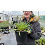 Agapanthus Snow Pixie 4.5 Litre Pot