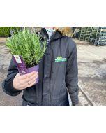 Lavender Stoechas Anouk 10cm Pot