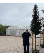 Yew  or Taxus Multiball Cloud Tree 130 Litre Pot