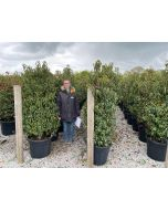 Prunus Lusitanica 70 Litre Pot 150/160cm Extra Wide Pre Order For End of June