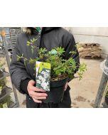 Potentilla fruticosa Abbotswood 2 Litre Pot