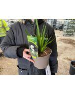 Libertia Grandiflora 2 Litre Pot