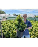 Box hedging 15 Litre Pot 40/50cm