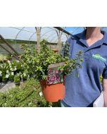 Fuchsia Tom Thumb 2 Litre Pot
