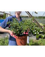 Fuchsia Lady Thumb 3 Litre Pot