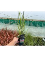 Miscanthus Red Chief 2 Litre Pot