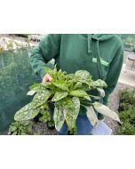 Pulmonaria Sissinghurst White 1.5 Litre Pot