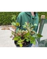 Astilbe Visions In Red 3 Litre Pot