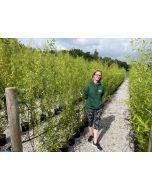 Bamboo Phyllostachys Aureosulcata Spectabilis 9 Litre Pot 150-160cm
