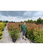 Photinia Red Robin 25/30 Litre Pot