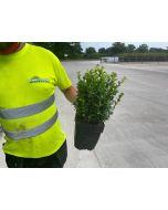 Box Hedging 25-30cm 2 Litre Pot