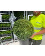 Yew Ball 25 Litre Pot 50-55cm
